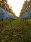 Geel gekleurde bladeren versieren de wijnranken